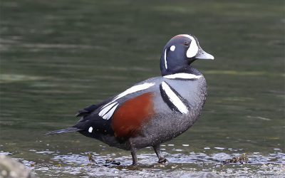 Discovering the Secrets of Harlequin Ducks