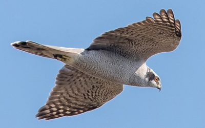 The Thrill of Hawk Watching